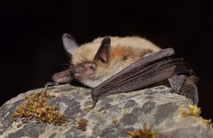 A Fringed myotis will star in the Radio Lillooet series.